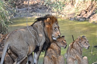 Papa Lion and Cubs